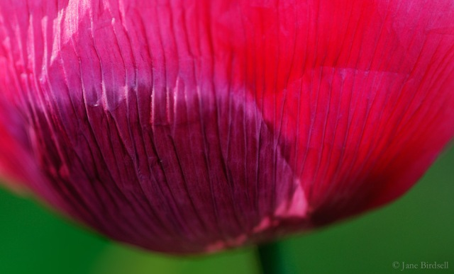 Raspberry opium poppy